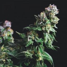 Cannabis Seeds Purple Urkle 3+1