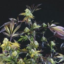 Cannabis Seeds Sunset Sherbet 3+1